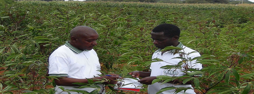 Accuracy in data collection and usage ensures high cassava yields