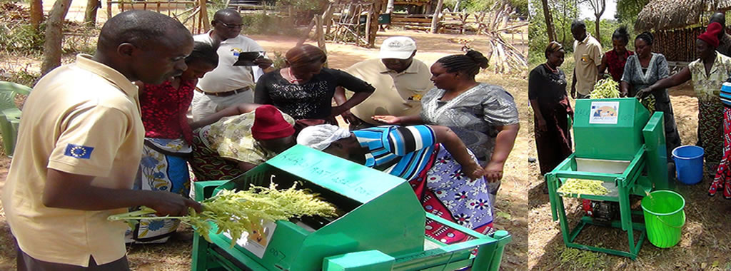 A KALRO scientist teaches members of Utithini Farmers Group how to use a motorised amaranth thresher
