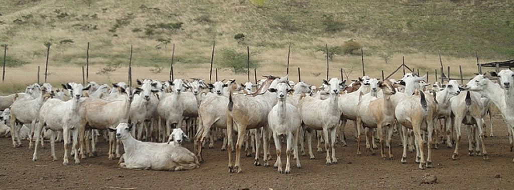 A flock of Galla goats at KALRO Kiboko