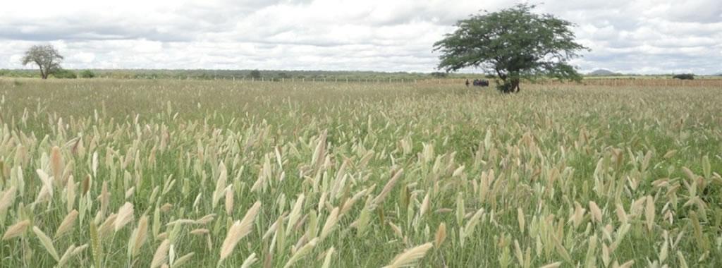 Chloris roxburghiana (Horsetail) grass establishment at KALRO Kiboko