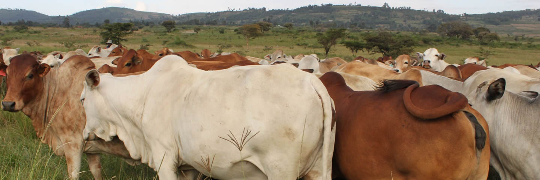 Beef farming