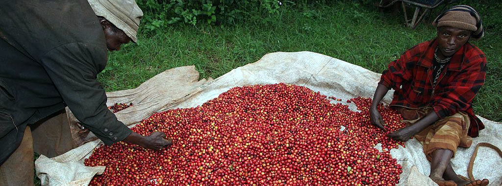 Kenya -  Ngunguru farmers sorting coffee