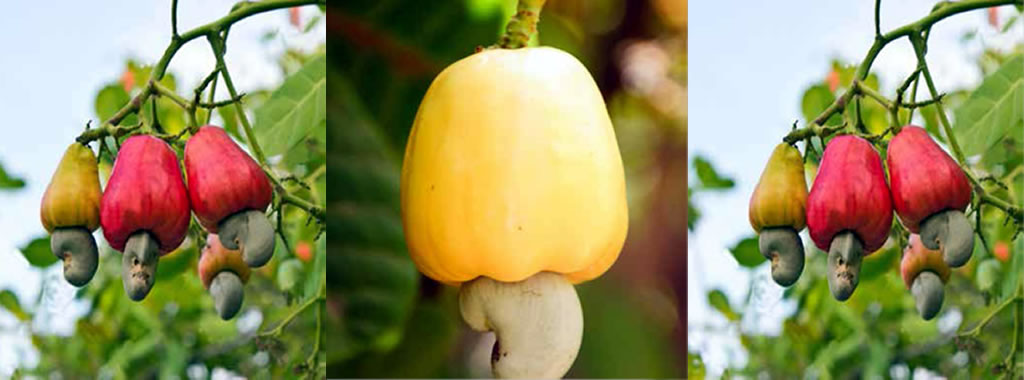KALRO Cashew varieties: A81, A82, A100 and A75/83 recommended for the coastal region