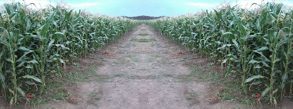 Improved maize plantation variety