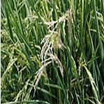 White rice stem borer