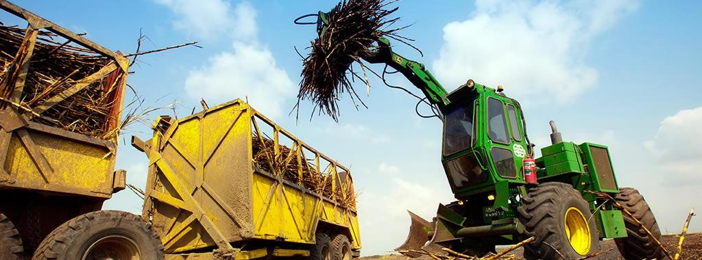 Harvesting of Sugarcane in Western Kenya